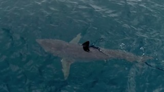 Shark Hunts Seal Off San Diego Coast - Video
