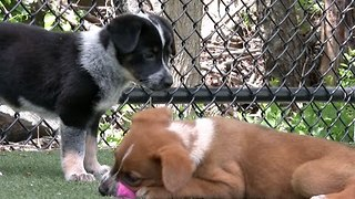 A Pack of Australian Shepherd Pups Play at the Shelter - Video