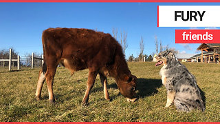 Adorable calf becomes best friends with dog