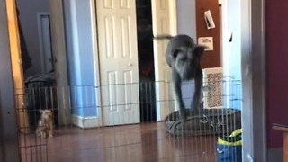 Dog clears very tall gate with ease - Video