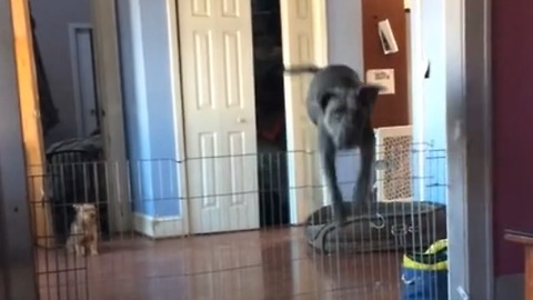 Dog clears very tall gate with ease