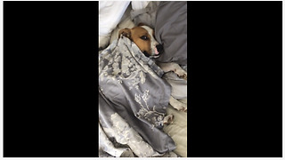 Lazy dog snuggles in bed just like a human! - Video