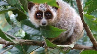 Cute Pygmy Slow Loris Gets the Hiccups - Video
