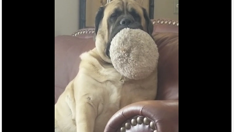Big dog falls asleep with toy in mouth