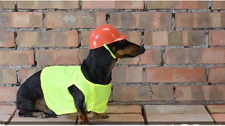 Dachshund helps repair new apartment - Video