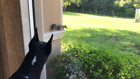 Great Dane and Cat Love Watching Squirrel TV