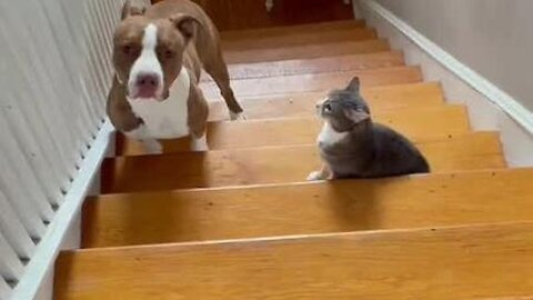 Pit bull is scared to walk past cat