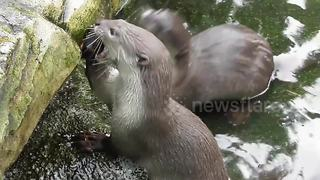 Just an otter playing with an apple - Video