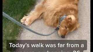 Dog lays down on sidewalk and refuses to finish his walk