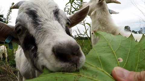 Baby goats lose their minds for tasty grape leaves