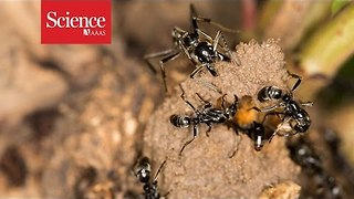 Ants rescue injured comrades from termite battles - Video