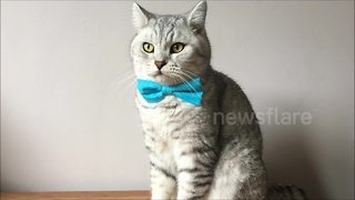 Dapper cats show off bow tie collection - Video