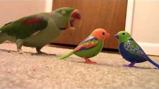 Confused Parrot Reacts to Interactive Bird Toys - Video