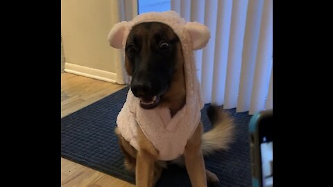 German Shepard Is Not Impressed With Her New Outfit