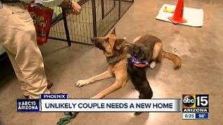 Pair of stray dogs in Phoenix create unlikely friendship - Video