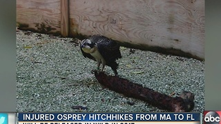 Injured osprey hitchhikes from Massachusetts to Florida - Video