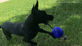 Great Dane Shows Off Jolly Ball Tricks To Puppy  - Video