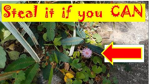 Steal Mimosa Pudica Leaves Challenge: Who can Pick the Leaves Without Causing it to Close