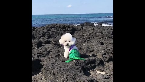 Bichon Frise humorously transforms into a mermaid