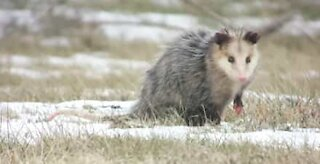 Fearless Yorkshire terrier chases away opossum