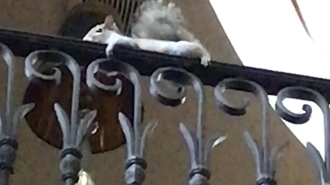 Lazy pet squirrel chills out on banister