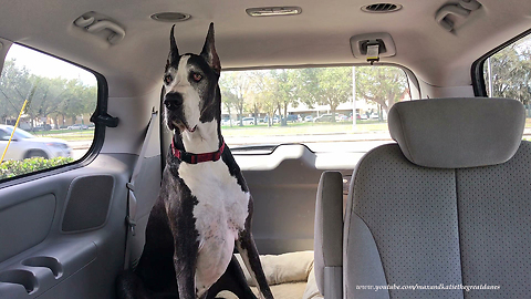 Great Dane is Happy to Be in the MiniVan and Out of the Vet's Office
