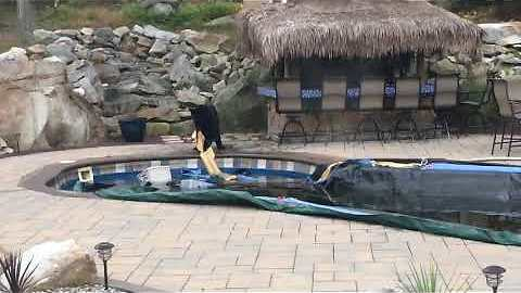Smart Bear Finds A Way To Steal Water Bags From A Pool