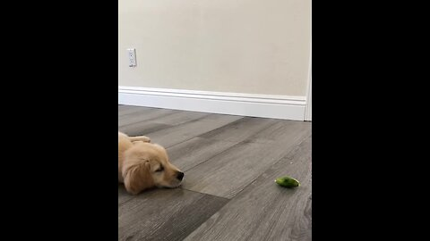 This Golden Retriever puppy is completely confused by a slice of lime