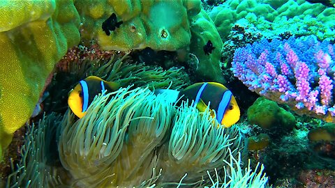 Beautiful clownfish can go where other creatures dare not go