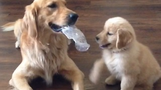 Golden Retriever adorably teases puppy