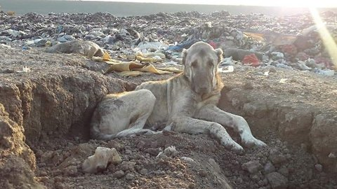 Abandoned dog found waiting to die in trash recovering as part of rescue efforts to save more than 800 landfill dogs from freezing to death