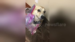 Woman confronts guilty looking dog after he ate all the treats - Video