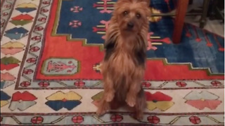 Dramatic Dog Is A Fantastic Little Actor - Video