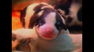 Dog Gives Birth To 17 Puppies - Video