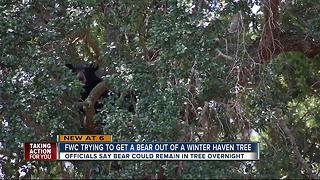 FWC monitoring bear in Polk County neighborhood - Video