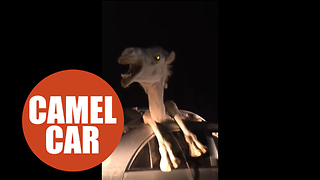 Camel becomes trapped inside car after smashing through windshield in head on collision - Video