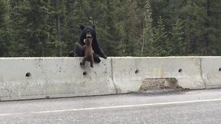 Mama bear rescues baby bear - Video