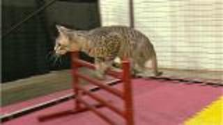 What Are Cat Agility Competitions? - Video