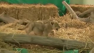 Adorable lion cub prepares for debut in Lima - Video