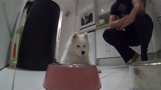 Samoyed Puppy Learns to Wait Before Getting Food - Video