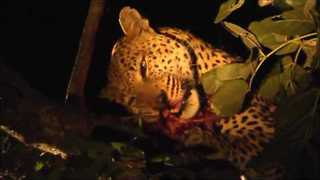 Leopard Loses Her Prey - Video