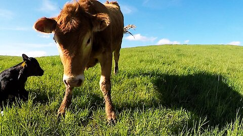 Mother cow warns cameraman to stay away from her newborn calf
