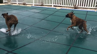 Two boxers adorably slip 'n slide on covered pool - Video