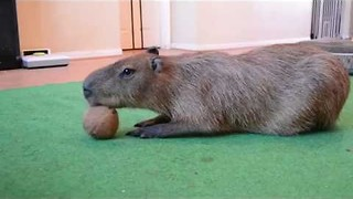 Cute Capybara Plays With a Coconut - Video