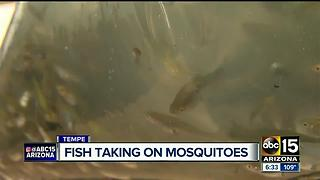 Mosquito fish helping combat mosquito-borne illnesses in Valley