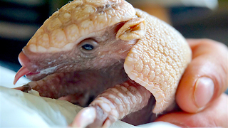 "Baby Armadillo Spock Set To 'Live Long And Prosper"": ZooBorns - Video"