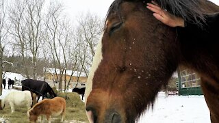 Clydesdale horse becomes sleepy as he enjoys a head massage