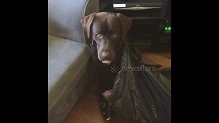Guilty looking dog gets stuck in bin bag after raiding it - Video