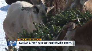 Parma farm wants your Christmas tree for goat food - Video