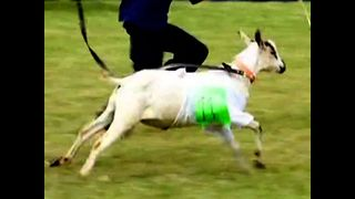 Goats Go Racing In Kenya